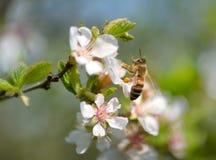 Biene auf Frühlingsfarbe Lizenzfreie Stockfotografie