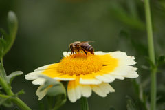 Biene auf Gelb-weißer Blume Stockfotos