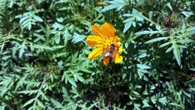 Biene auf gelbem Gänseblümchen Lizenzfreies Stockfoto