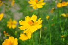 Biene auf gelbem Kosmos, Arbeitszeit lizenzfreies stockfoto