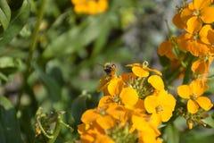Biene auf gelber Blüte Stockfotos