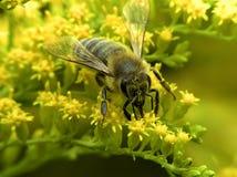 Biene auf gelber Blume Lizenzfreie Stockbilder