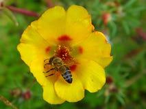 Biene auf gelber Blume Stockfotografie