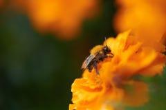 Biene auf gelber Blume Lizenzfreies Stockfoto