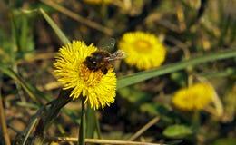 Biene auf gelber Blume Stockfotos
