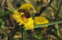 Biene auf gelber Blume Lizenzfreie Stockfotos