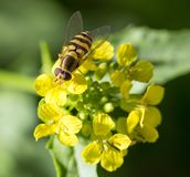 Biene auf gelber Blume in der Natur Makro Lizenzfreies Stockbild