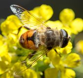 Biene auf gelber Blume in der Natur Makro Lizenzfreies Stockfoto