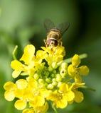 Biene auf gelber Blume in der Natur Makro Stockfoto