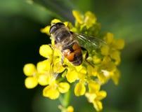 Biene auf gelber Blume in der Natur Makro Lizenzfreie Stockfotografie