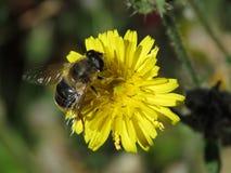 Biene auf gelber Blume Großbritannien stockbilder