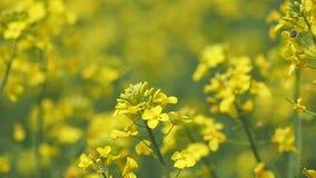 Biene auf gelber Blume langsames Sotion stock video