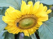 Biene auf gelber großer Sonnenblume Stockfotografie