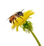 Biene auf getrenntem gelbem Löwenzahn Stockfoto