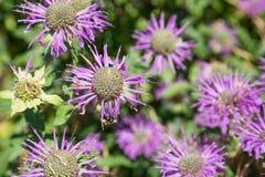 Biene auf glänzendem Lavendar Daisy stockfoto