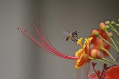 Biene auf gulmohar Stockbilder