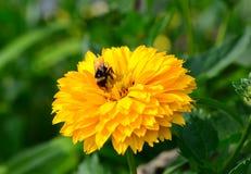 Biene auf Heliopsis Lizenzfreie Stockbilder
