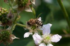Biene auf Himbeeranlage lizenzfreie stockfotos
