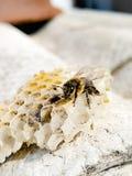 Biene auf Honigkamm lizenzfreies stockbild