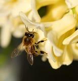 Biene auf Hyazinthe Lizenzfreie Stockfotografie