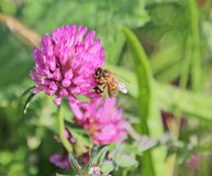 Biene auf Kleeblume Stockfotos