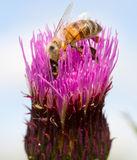Biene auf Kleeblume Lizenzfreies Stockfoto