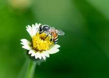 Biene auf kleiner Blume Stockfotografie