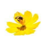 Biene auf Kosmos sulphureus Lizenzfreie Stockfotos