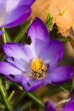 Biene auf Krokus Stockbilder