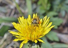 Biene auf Löwenzahn 2 Lizenzfreie Stockfotografie