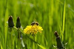 Biene auf Löwenzahn Lizenzfreie Stockfotografie