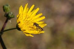 Biene auf Löwenzahn Lizenzfreie Stockfotos