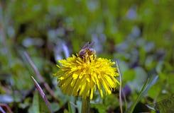 Biene auf Löwenzahn stockfoto
