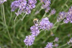 Biene auf Lavendel. Lizenzfreie Stockfotos