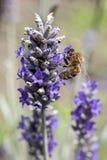 Biene auf Lavendel Lizenzfreie Stockfotografie