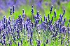 Biene auf Lavendel Lizenzfreie Stockfotos