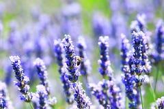 Biene auf Lavendel Stockfotografie