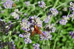 Biene auf Lavendel Stockbilder