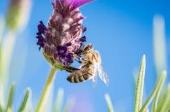 Biene auf Lavendel-Blume Stockfotos