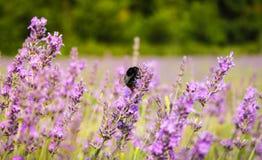 Biene auf Lavendel, Mayfield-Lavendel-Bauernhof, Großbritannien lizenzfreies stockbild