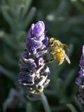 Biene auf Lavendel Nr. 3 Lizenzfreie Stockfotografie