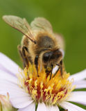 Biene auf Lavendel Nr Lizenzfreie Stockfotografie
