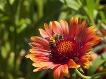 Biene auf Lavendel Nr Lizenzfreie Stockbilder