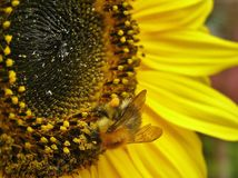Biene auf Lavendel Nr Stockfotos