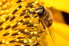 Biene auf Lavendel Nr Stockbild