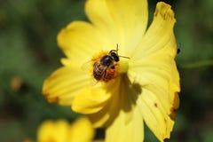Biene auf Lavendel Nr Stockfotografie