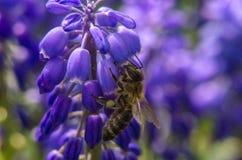 Biene auf Lavendel Nr Stockfoto