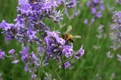 Biene auf Lavendelblumen lizenzfreies stockfoto