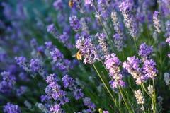 Biene auf Lavendelbusch Stockbild