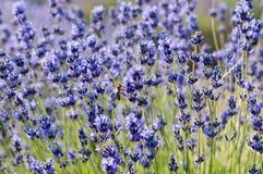 Biene auf levander Blume Stockfoto